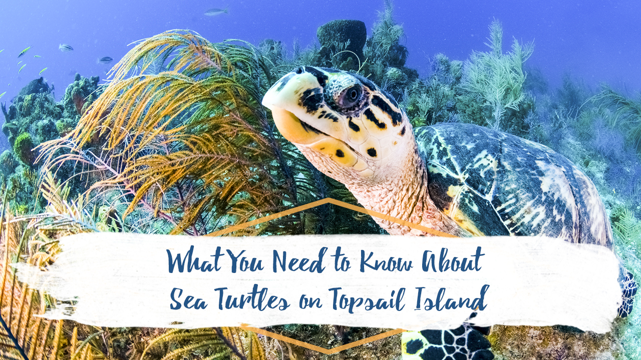 what-you-need-to-know-about-sea-turtles-on-topsail-island