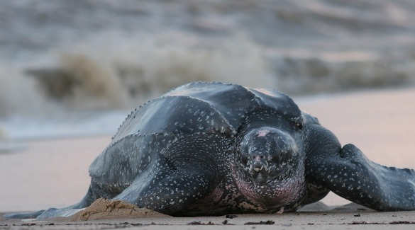 leatherback sea turtle on beach | Ward Realty Topsail Island