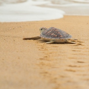 sea turtle on beach | Ward Realty Topsail Island