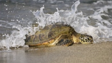 sea turtle in ocean | Ward Realty Topsail Island