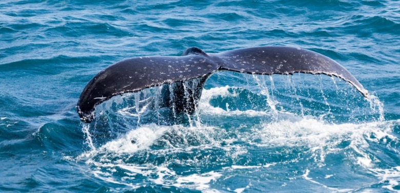 right whale tail coming up out of the water | Ward Realty