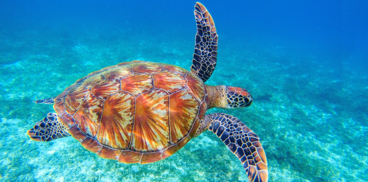 sea turtle swimming in the ocean | Ward Realty